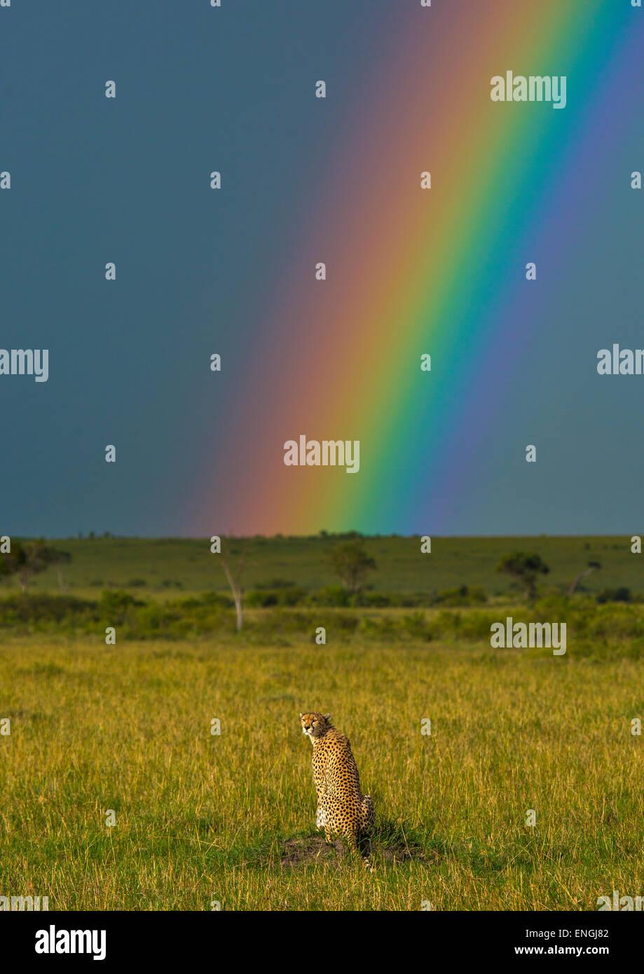 Ghepardo (Acinonyx jubatus) nella parte anteriore di un arcobaleno, Rift Valley Provincia, il Masai Mara, Kenya Immagini Stock