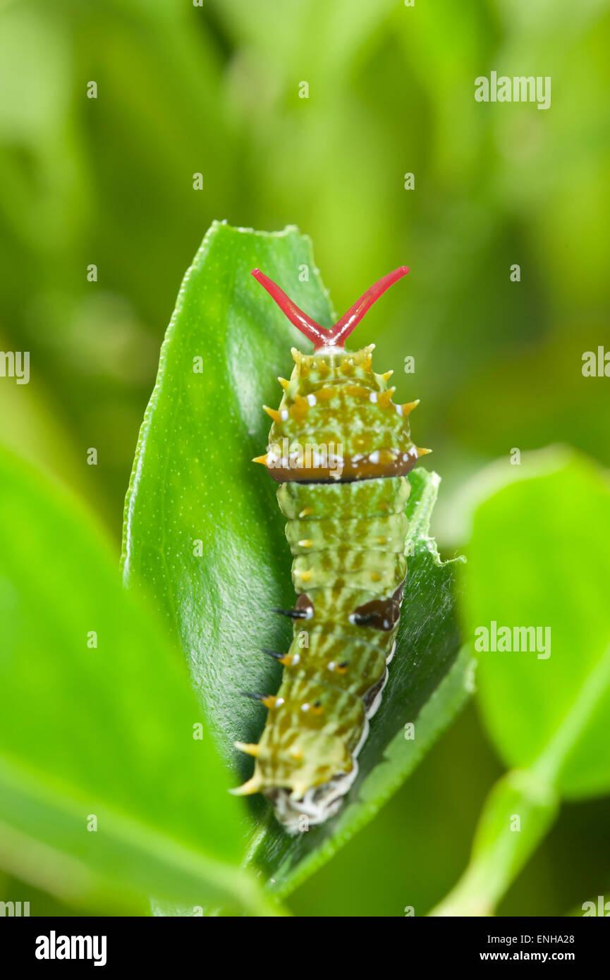Orchard a coda di rondine butterfly caterpillar sua eversione osmeterium Immagini Stock
