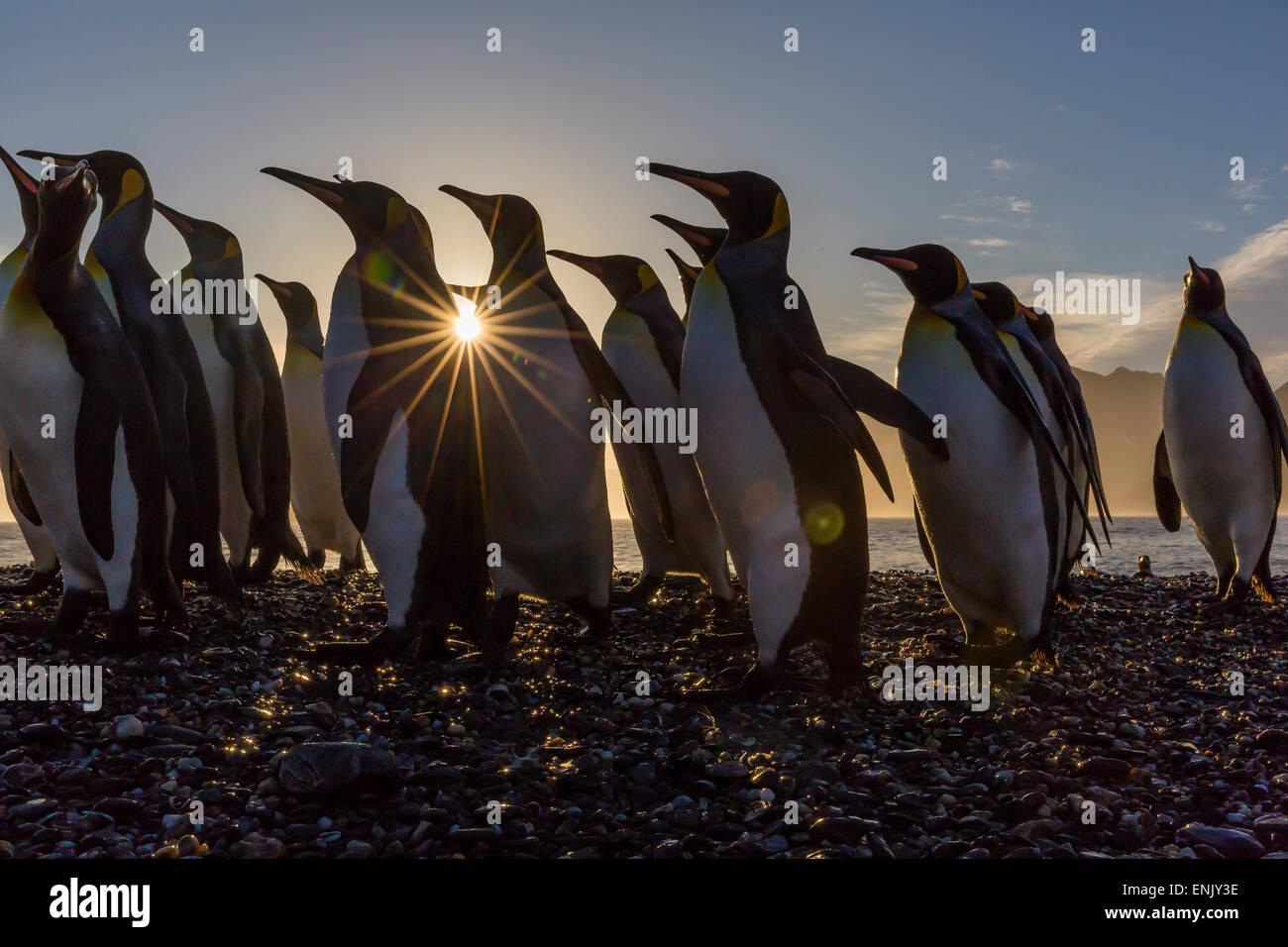 Re pinguini (Aptenodytes patagonicus) all'alba, in st Andrews Bay, Georgia del Sud e le regioni polari Foto Stock