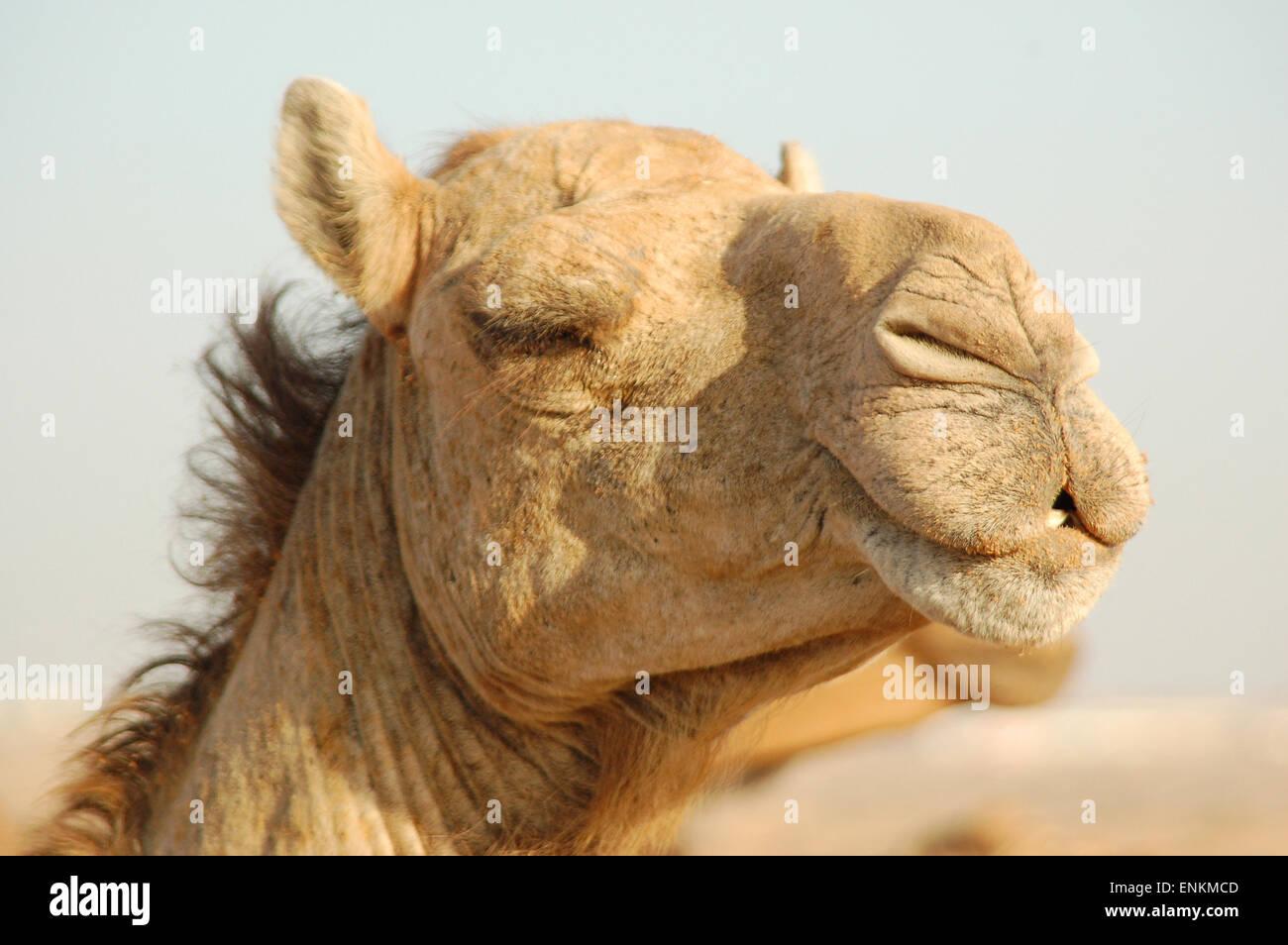 Cammello Dromedario arabian portret nave di testa del deser Immagini Stock