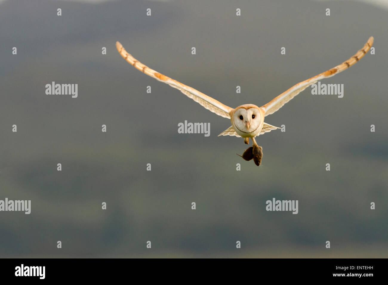 Il barbagianni (Tyto alba) in volo portando la sua preda, Dumfries and Galloway, Scotland, Regno Unito Immagini Stock