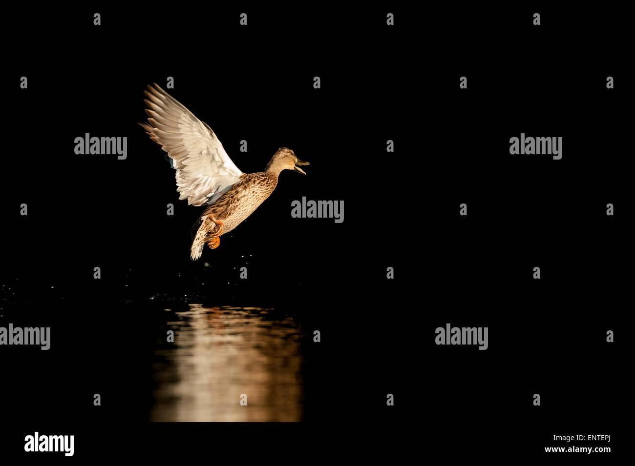 Mallard duck (Anas platyrhynchos) battenti, REGNO UNITO Immagini Stock