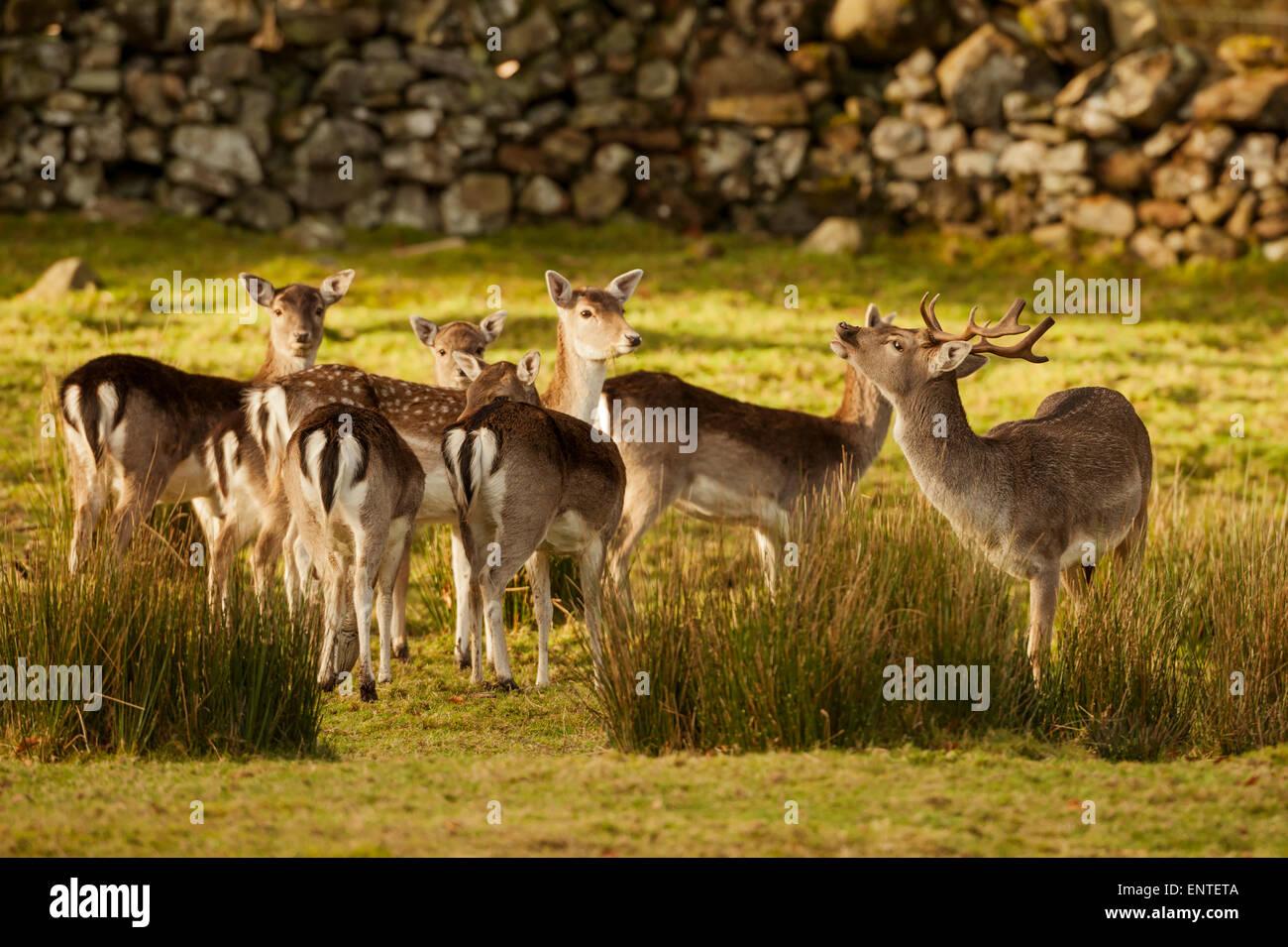 Daini (Dama Dama), Dumfries and Galloway, Scotland, Regno Unito Immagini Stock