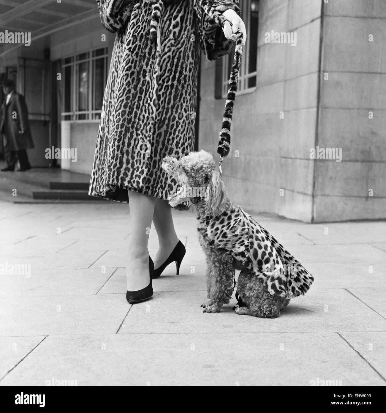 Cappotti di pelliccia per cani. Uno scarabocchio che indossa un leopard print pelliccia Settembre 1957. Immagini Stock