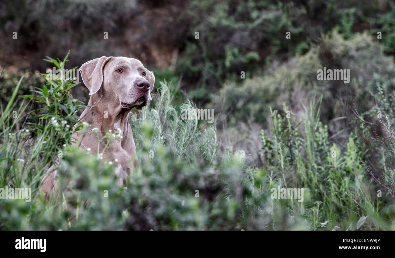 Weimaraner cane nel mare di lussureggianti piante verdi nella natura con testa sporgente al di sopra della crescita Immagini Stock