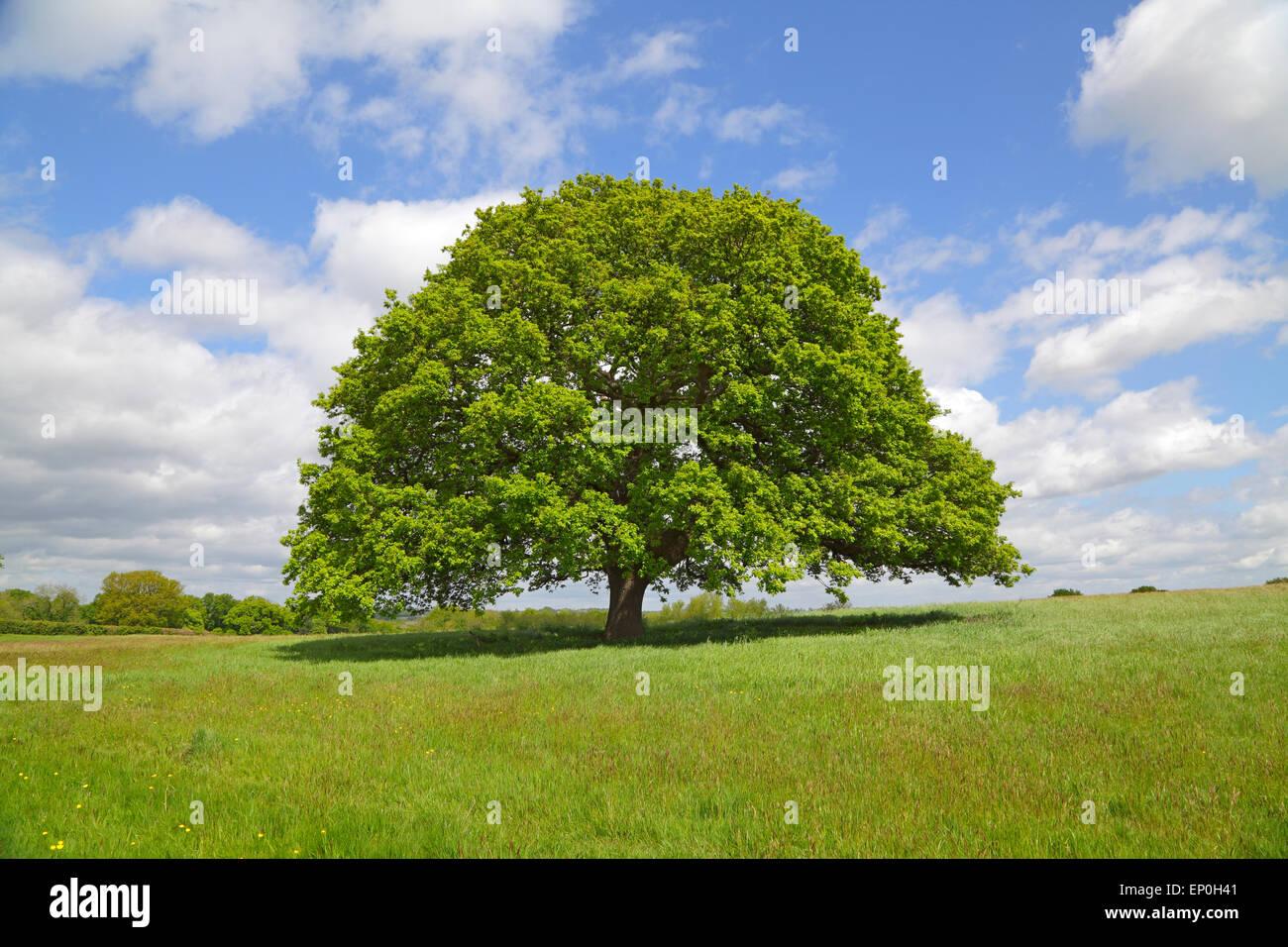 Oak Tree in primavera, Inghilterra, Gran Bretagna, GB, Regno Unito. Quercus fagaceae Foto Stock