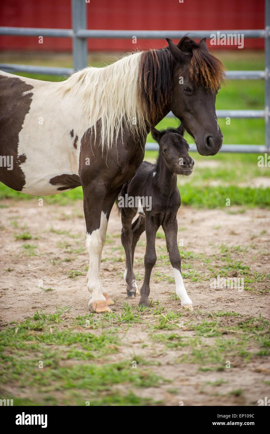La madre a cavallo con il suo puledro vicino Hurlock, Maryland, Stati Uniti d'America Immagini Stock