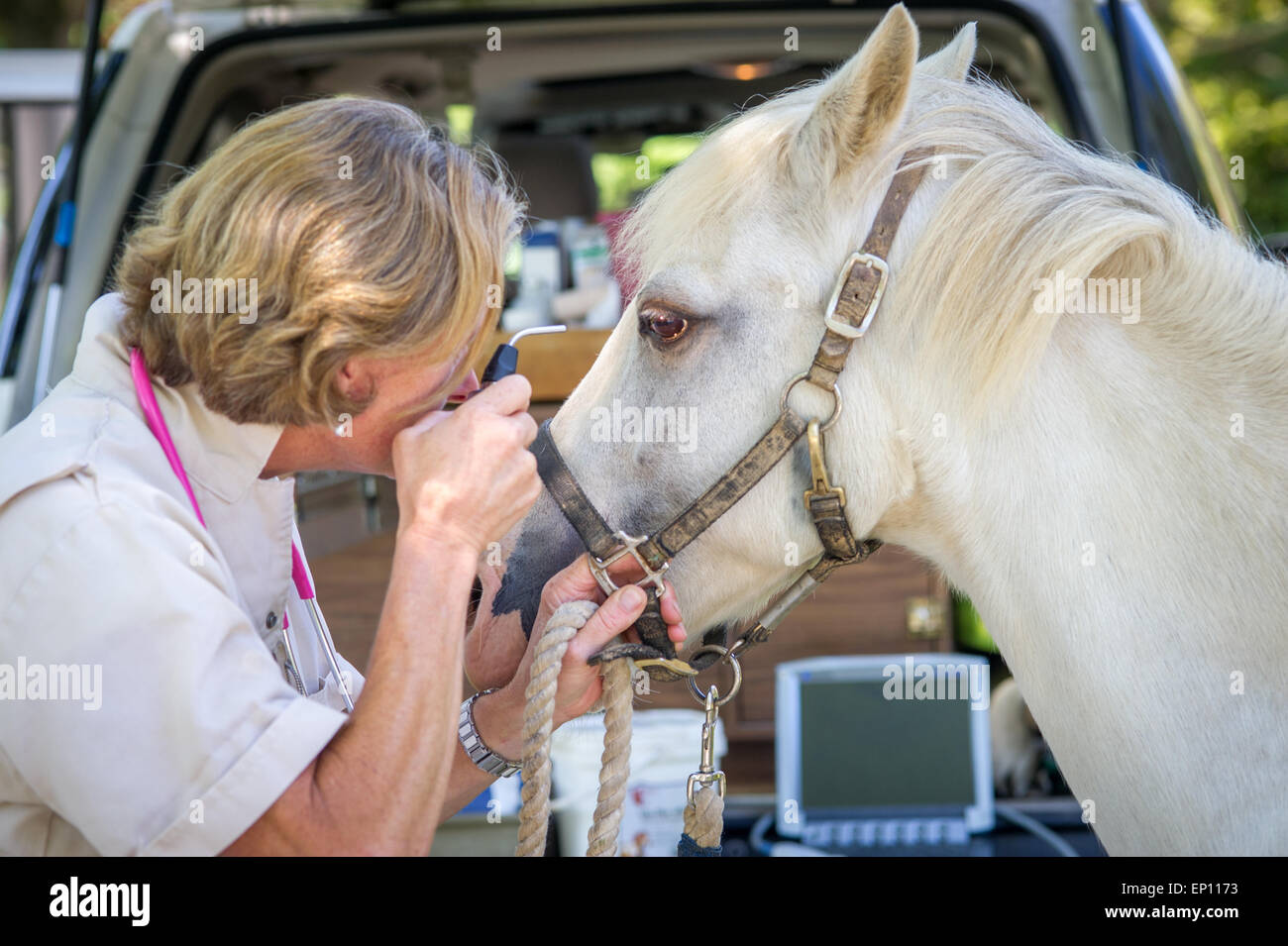 Equine Vet controllo dell'occhio su un cavallo in scintille, Maryland, Stati Uniti d'America Immagini Stock
