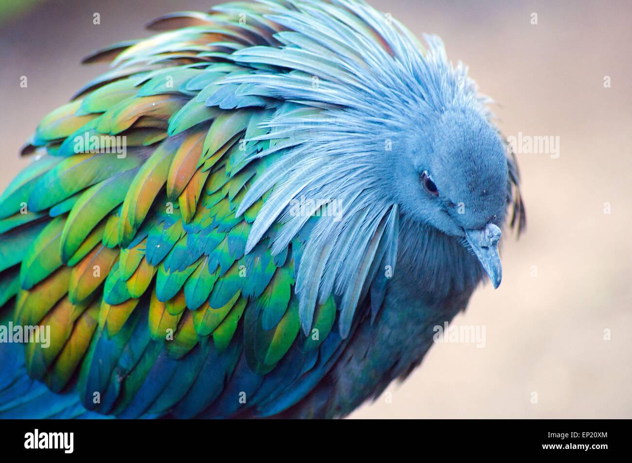 Nicobare Pigeon, Sud Africa Immagini Stock