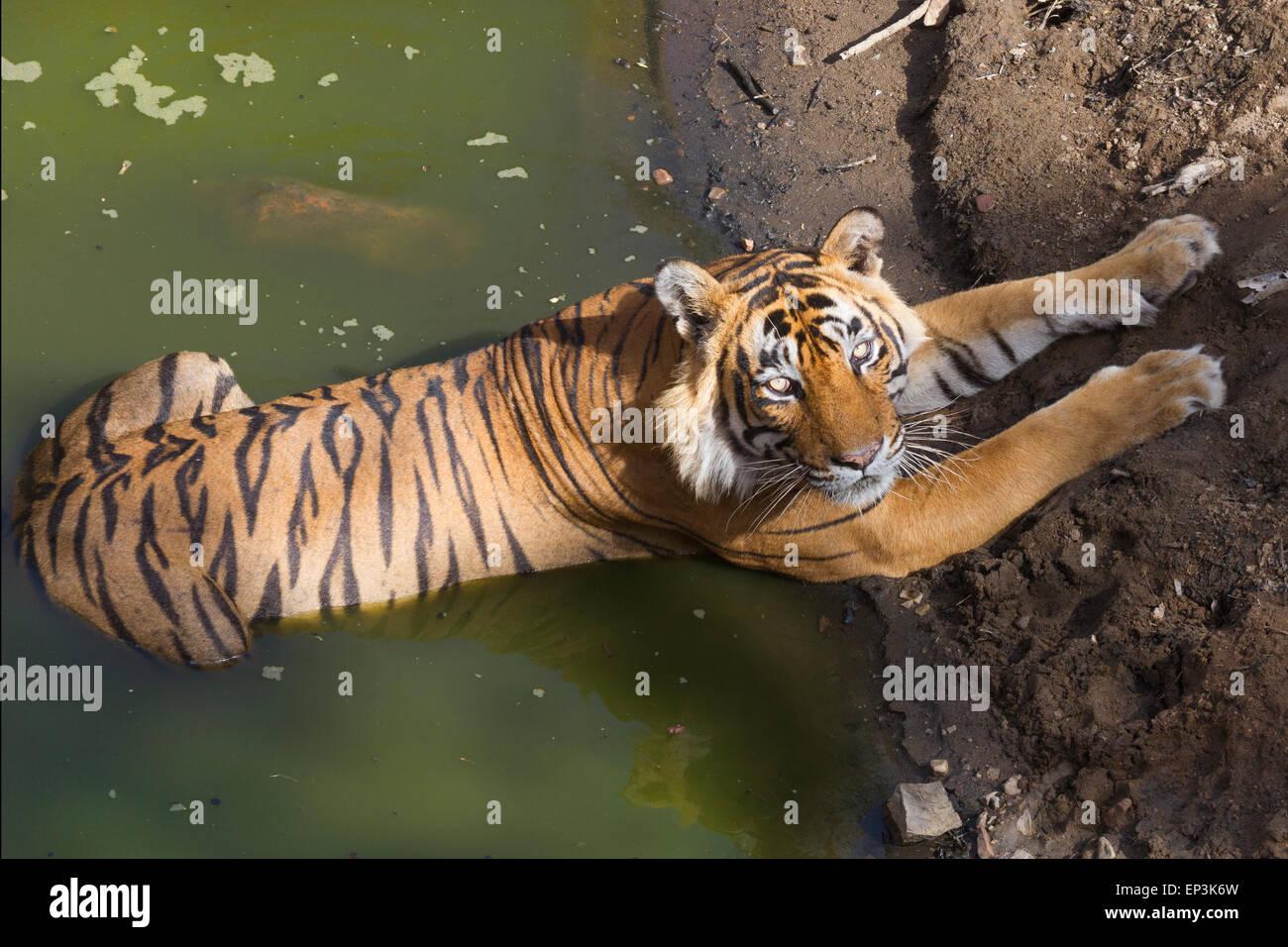 Royal tigre del Bengala o Panthera tigris tigris rilassante su un corpo di acqua a Rahthambhore Parco Nazionale Immagini Stock