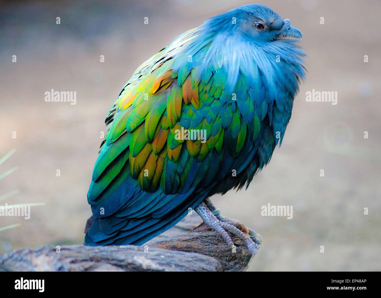 Nicobare Pigeon arroccata su una roccia, Sud Africa Foto Stock