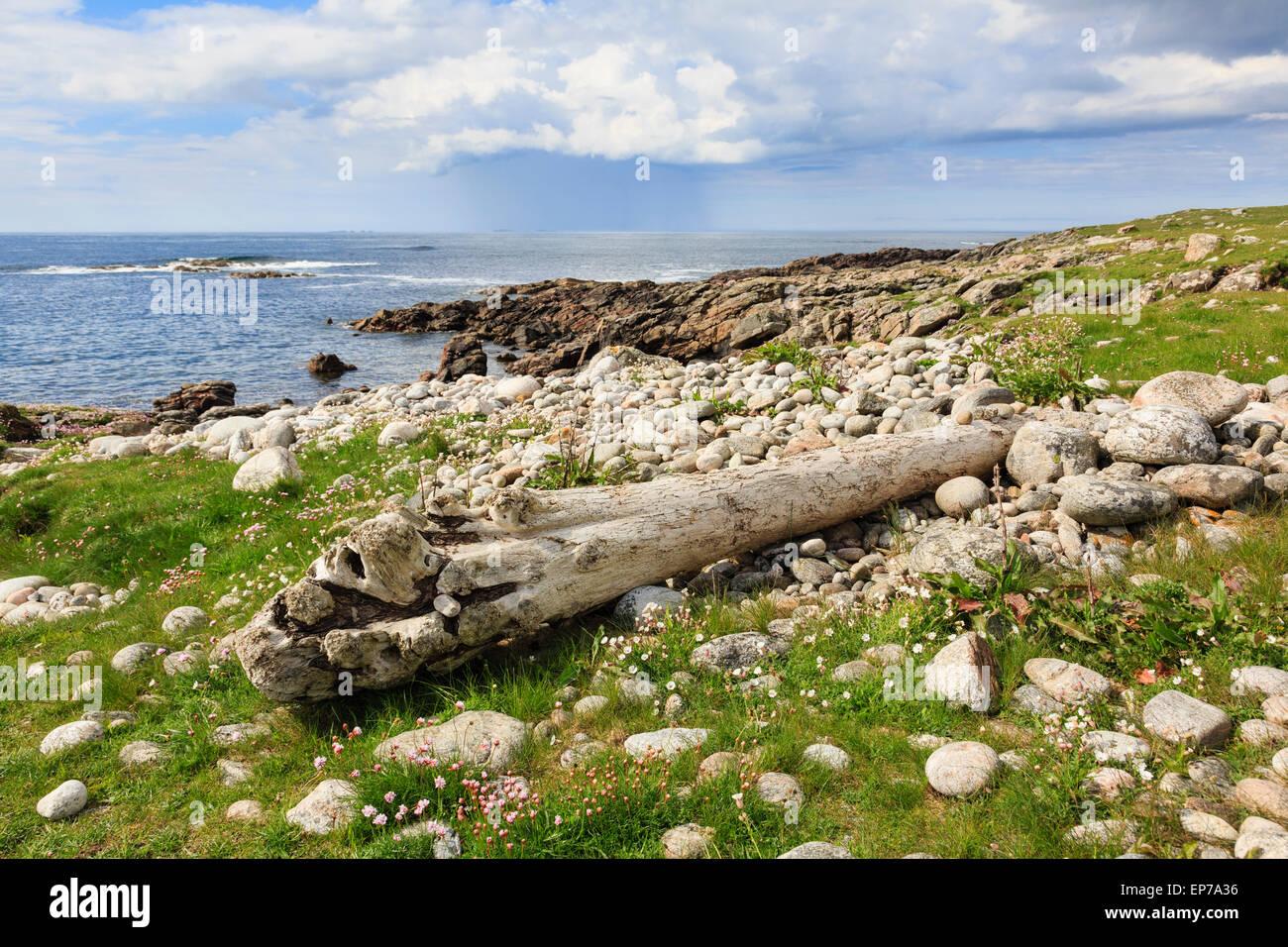 Imbianchiti driftwood log sulla prateria Machair sulla costa ovest in estate. Balranald RSPB Riserva Naturale North Foto Stock