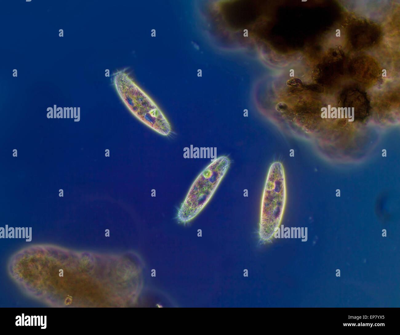 Pondlife, fotomicrografia, euplotes, un hypotrich ciliato. ypotrichs hanno 'blocchi' di ciglia in gruppi Immagini Stock