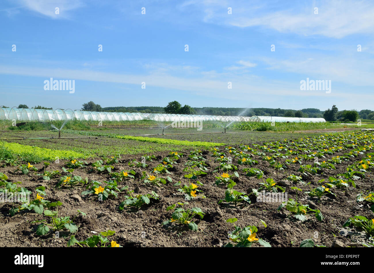 I Campi Di Zucchine Con Irrigazione E Serre In Background