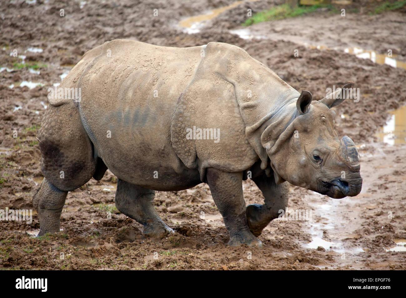 Vista del paesaggio di un giovane il rinoceronte indiano Immagini Stock