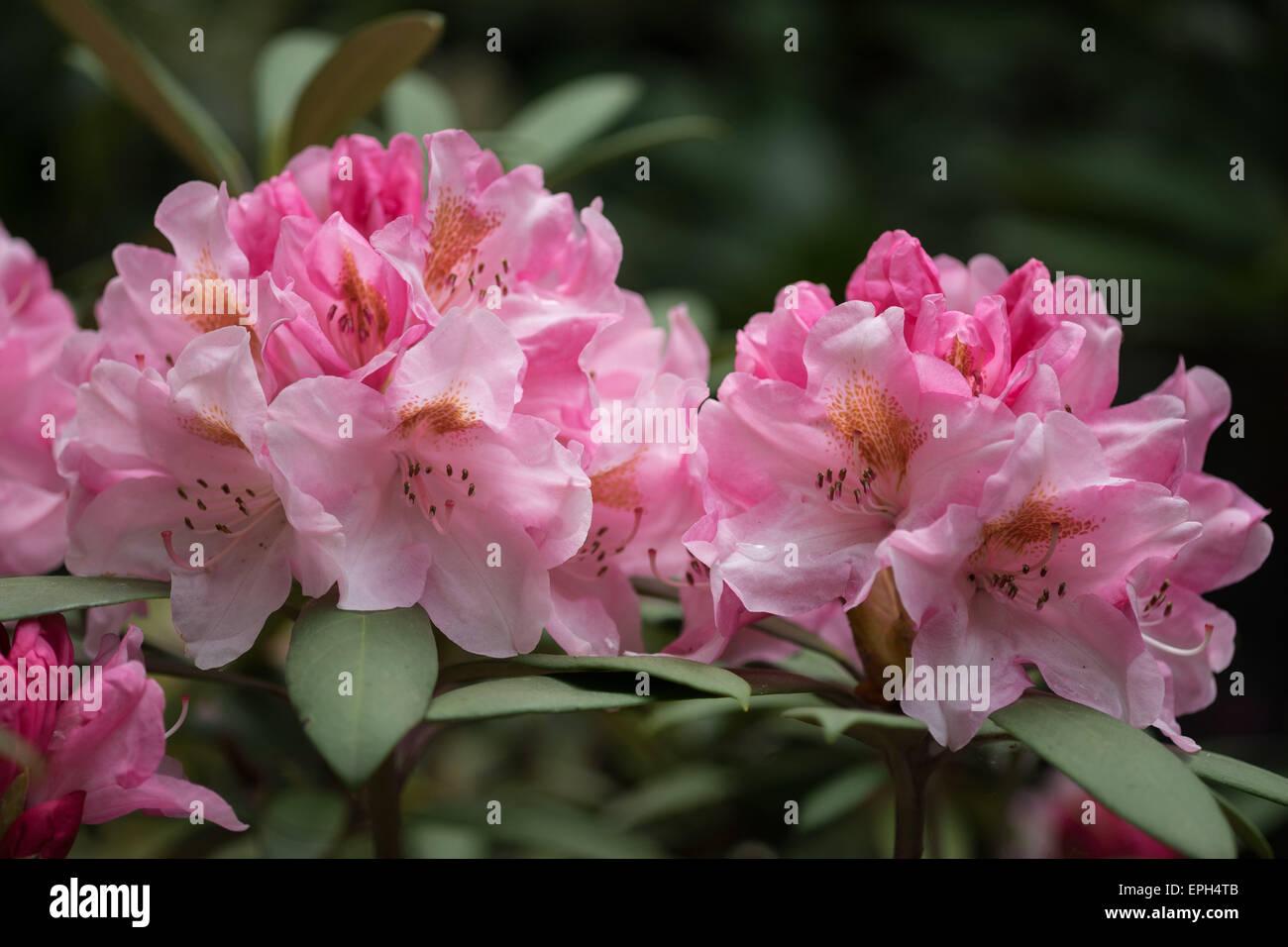 Rhododendron schivo rosa fiori ricchi Immagini Stock