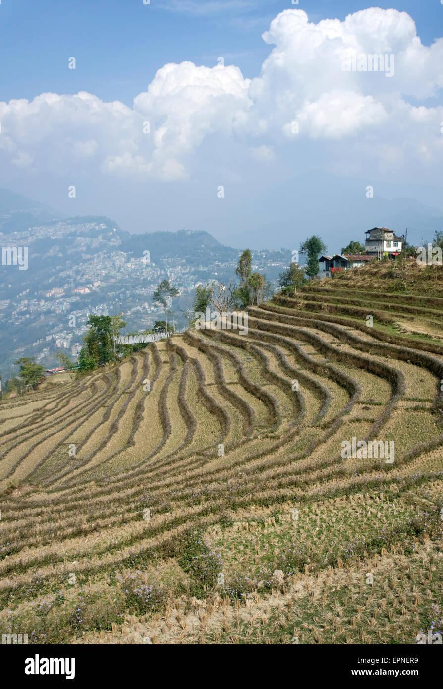 Terrazze di riso a Sanjur, nei pressi di Gangtok, Sikkim. Foto Stock