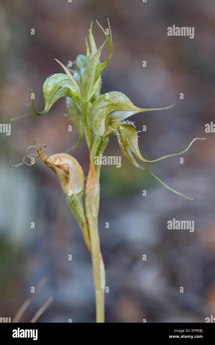 Hairy Rufous Greenhood Orchidea (Pterostylis ciliato) Immagini Stock