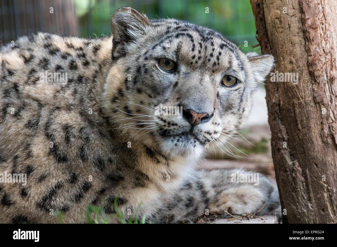 Un snow leopard può essere visto a zookeeper Renato Rafael's Felidae Wildcat Centre di Fliess Sydower, Immagini Stock