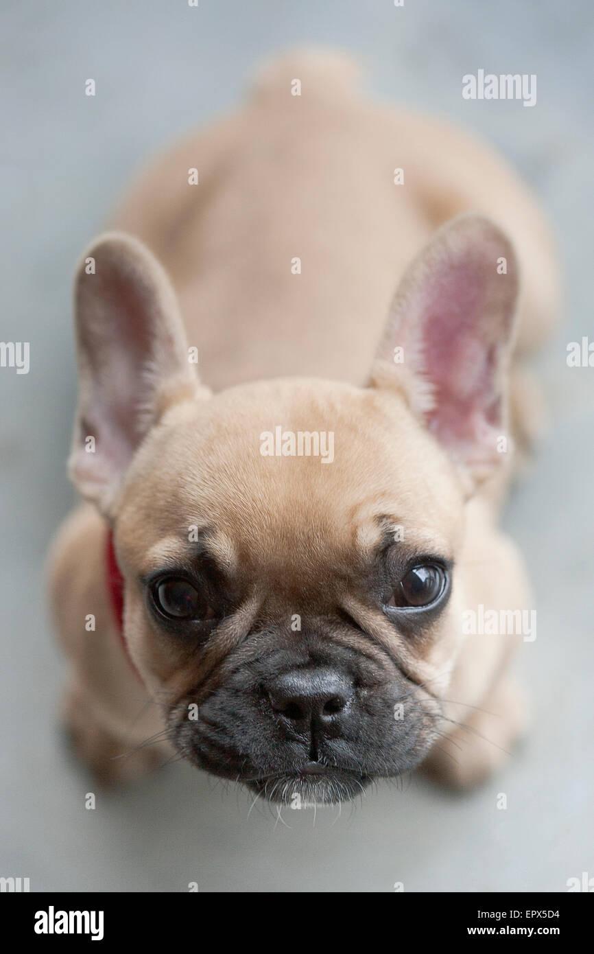 Fawn French Bulldog Immagini Fawn French Bulldog Fotos Stock Alamy