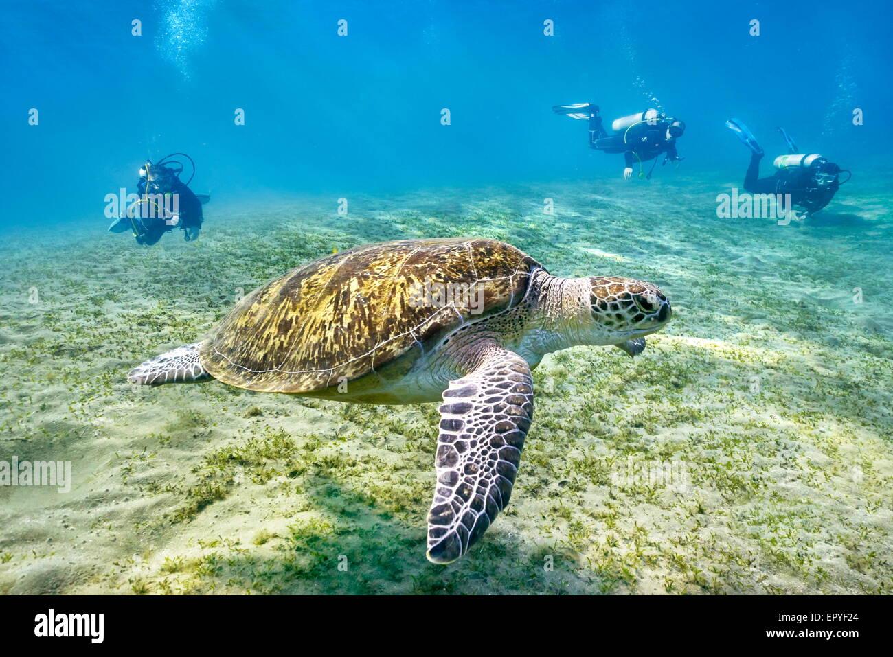 Marsa Alam - vista subacquea a subacquei e tartarughe marine, Mar Rosso, Egitto Immagini Stock
