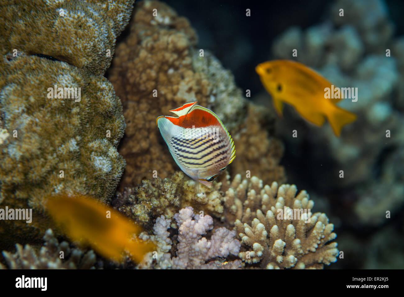Pesce tropicale - butterflyfish eritreo Immagini Stock