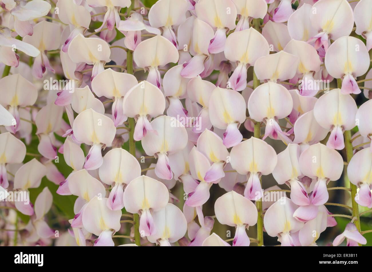 Delicato Colore Viola Pallido rows of wysteria immagini & rows of wysteria fotos stock - alamy