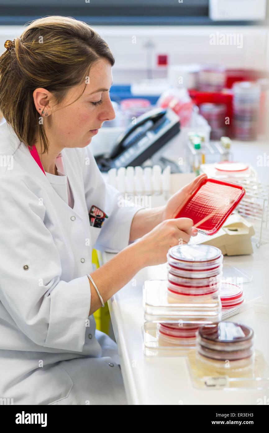 Un tecnico piastre su batteri gelose di medie in piastre petri per l'analisi dei batteri, la biologia e il centro Immagini Stock