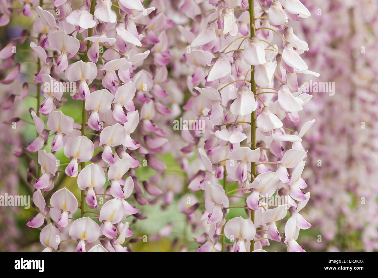 Delicato Colore Viola Pallido dettaglio dei fiori di luce viola pallido rosa delicato
