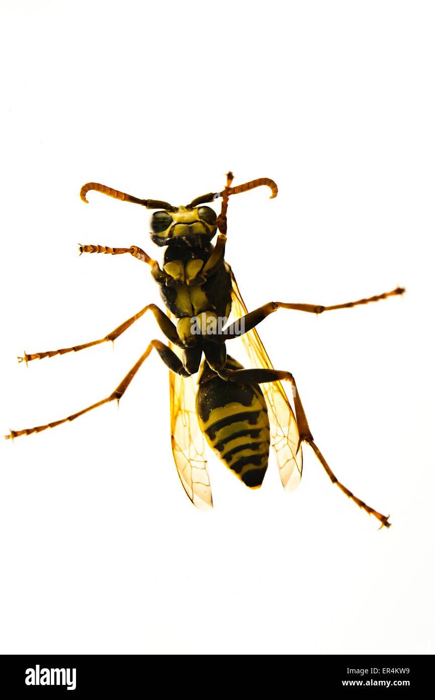 Wasp visto dal di sotto isolato Immagini Stock