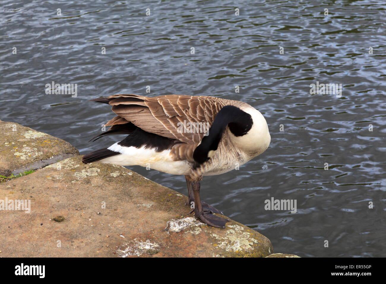 Canada Goose Coppia