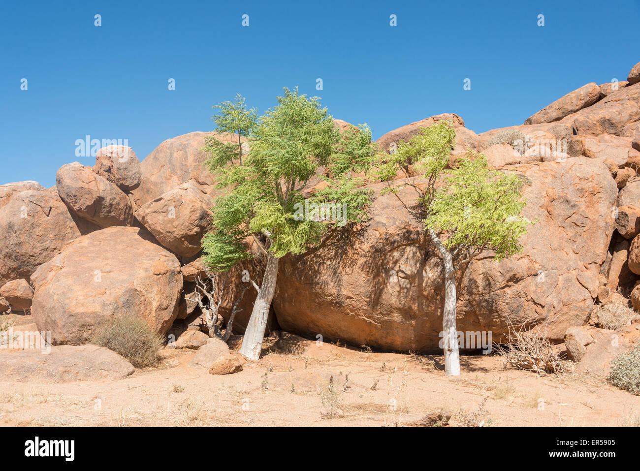 Gli alberi di acacia incastonato tra i massi, Namib Naukluft Park, Solitaire, Namib Desert, Repubblica di Namibia Immagini Stock