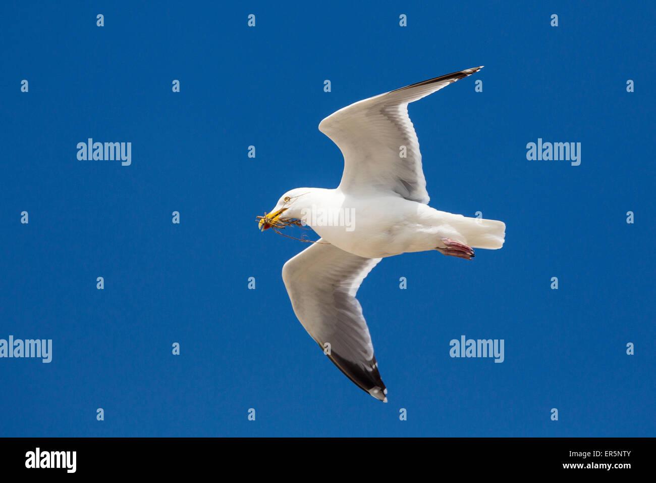 Aringa gabbiano in volo che trasportano materiale di nidificazione, Larus argentatus, Mare del Nord, Germania, Europa Immagini Stock