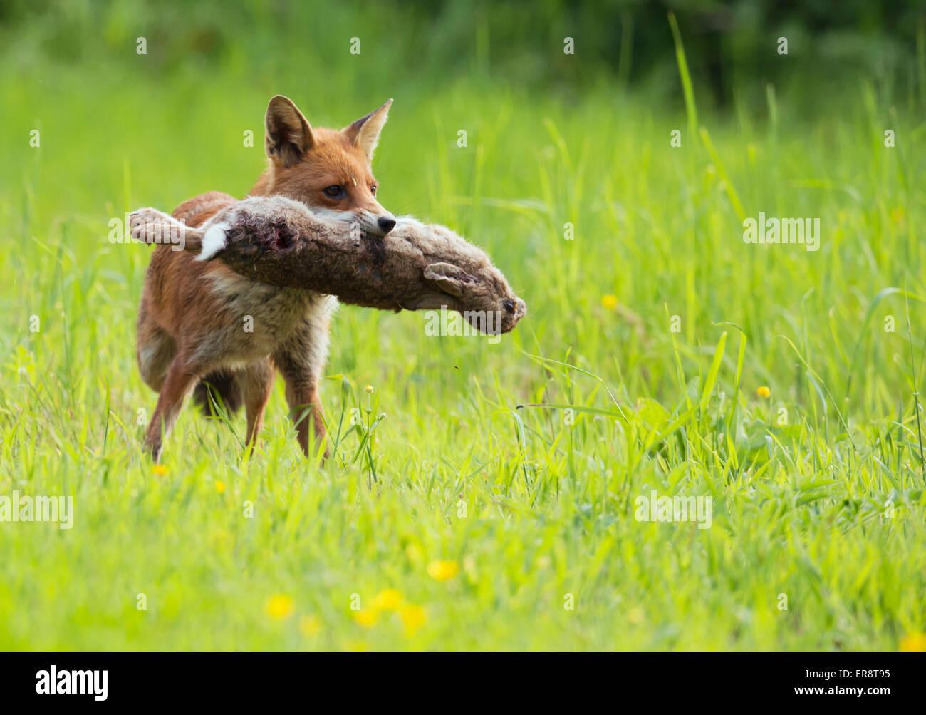 Wild Red Fox (Vulpes vulpes vulpes) con coniglio Foto Stock