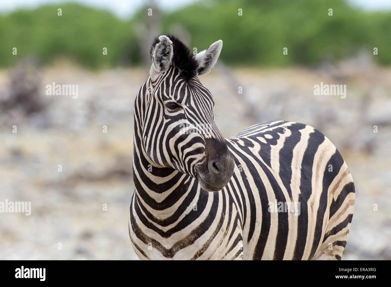 zebra delle pianure Immagini Stock