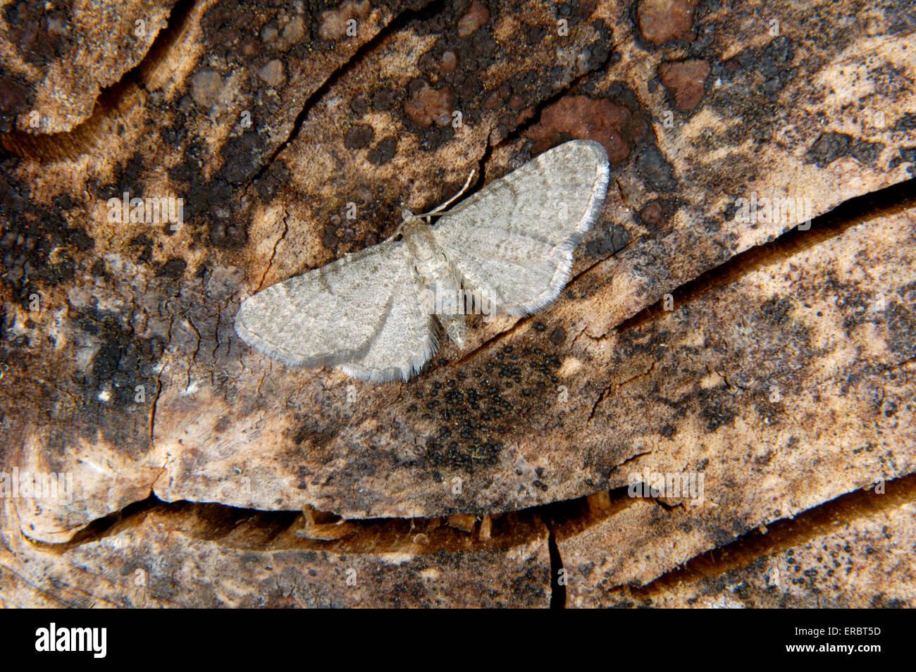 Lead-colorato Pug - Eupithecia plumbeolata Immagini Stock