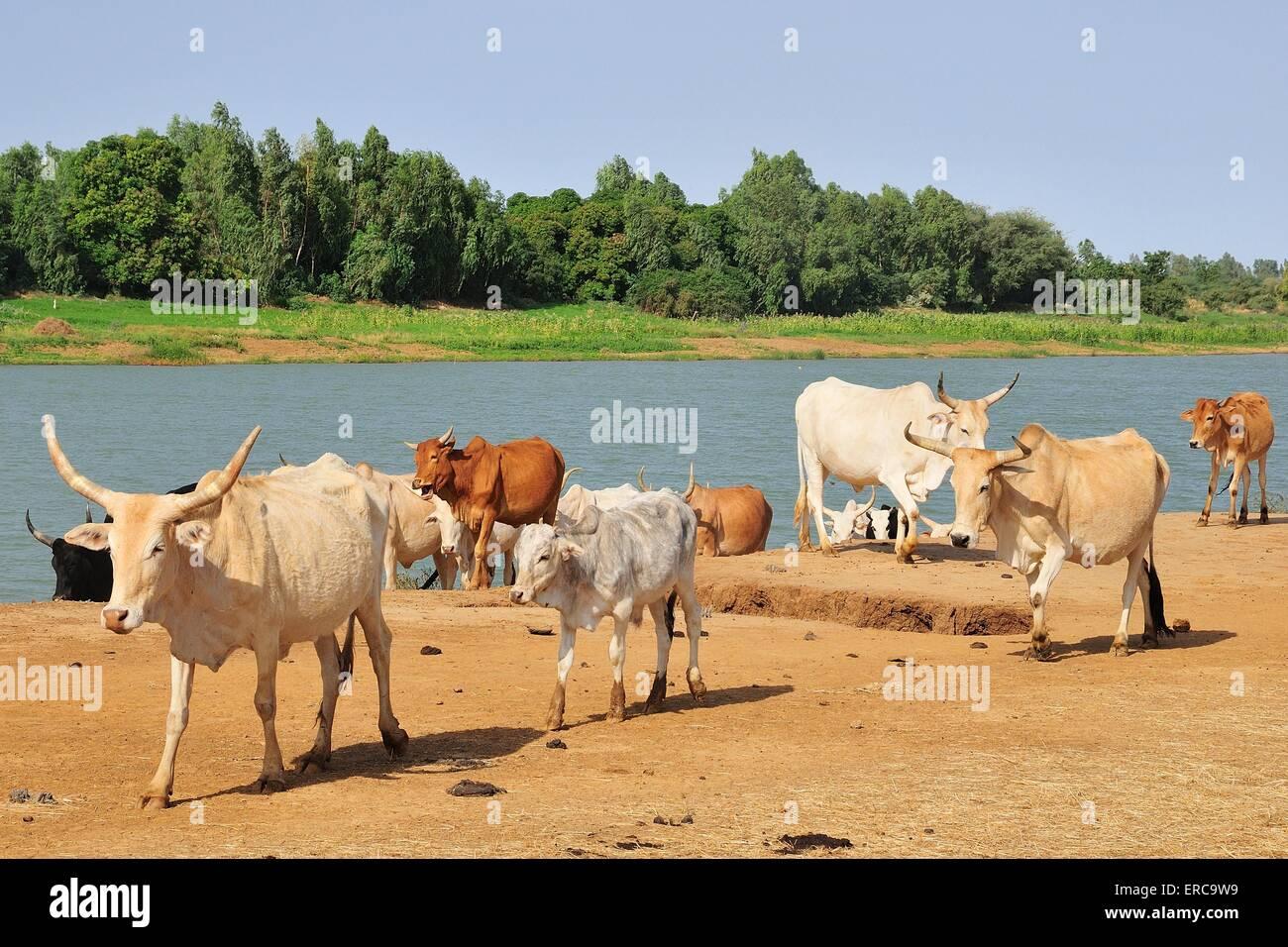 Bovini da parte del fiume Senegal, boga, regione Brakna, Mauritania Immagini Stock
