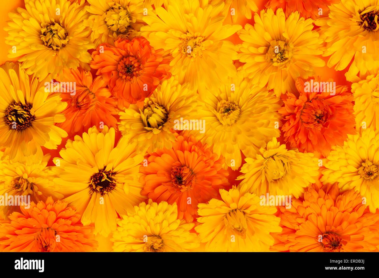 Fiori Gialli E Arancioni.Giallo E Arancione Di Medicinali O Di Calendula Calendula Fiori