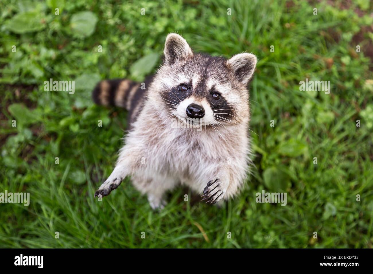Raccoon (Procione lotor), captive, Saarland, Germania Immagini Stock