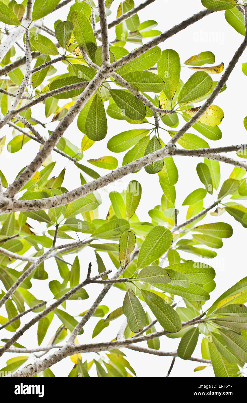 Il verde delle foglie e rami di un albero a Saman Villas, Aturuwella, Bentota, Sri Lanka. Immagini Stock