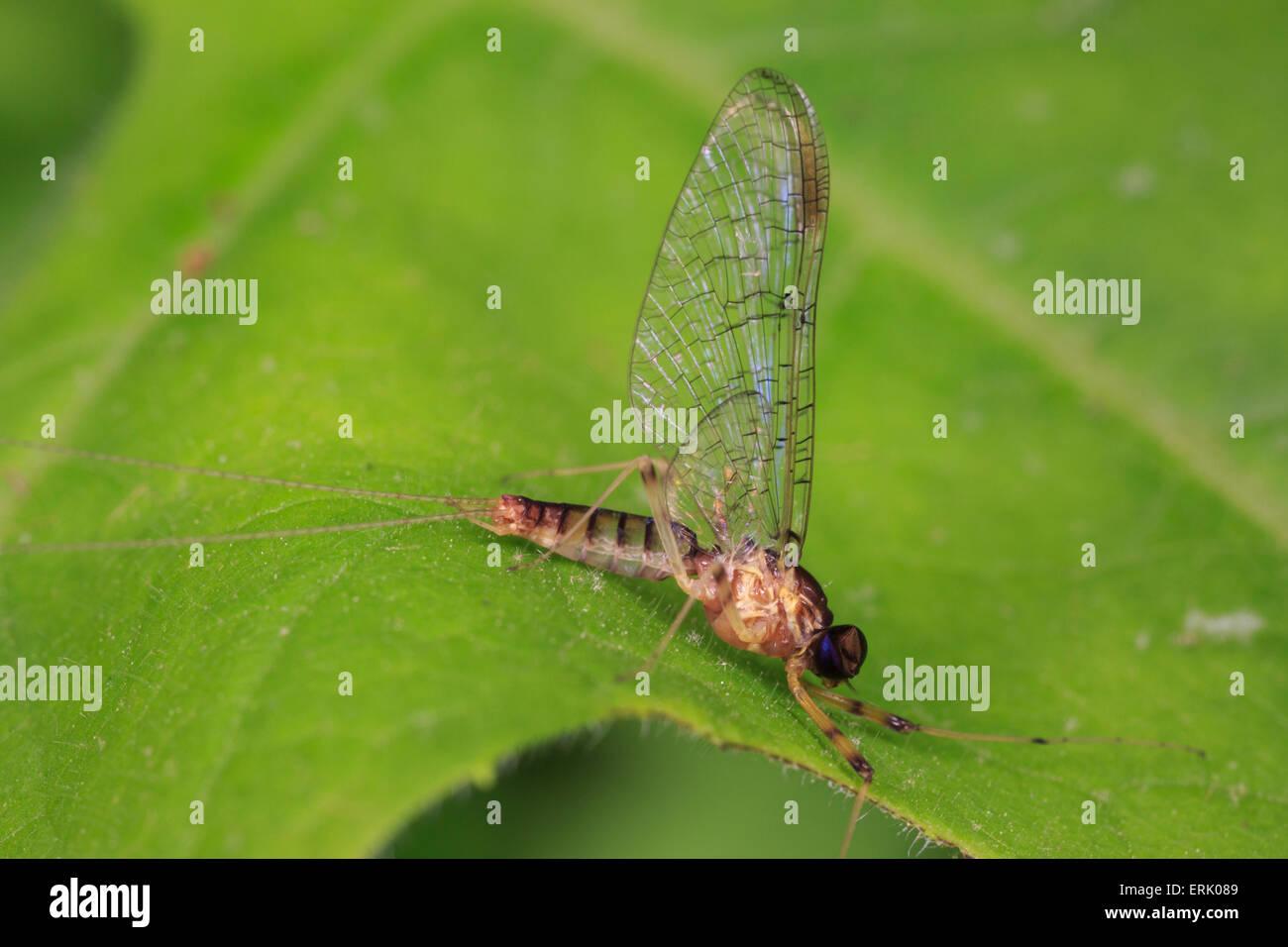 Imago maschio mayfly (Stenacron ps). Immagini Stock