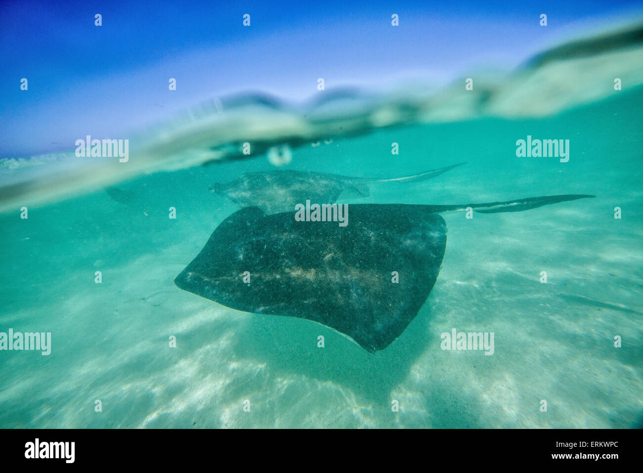 Snap sull'acqua a Stingray City, una riserva che ospita decine di stingray volteggiare nella laguna poco profonda, Immagini Stock
