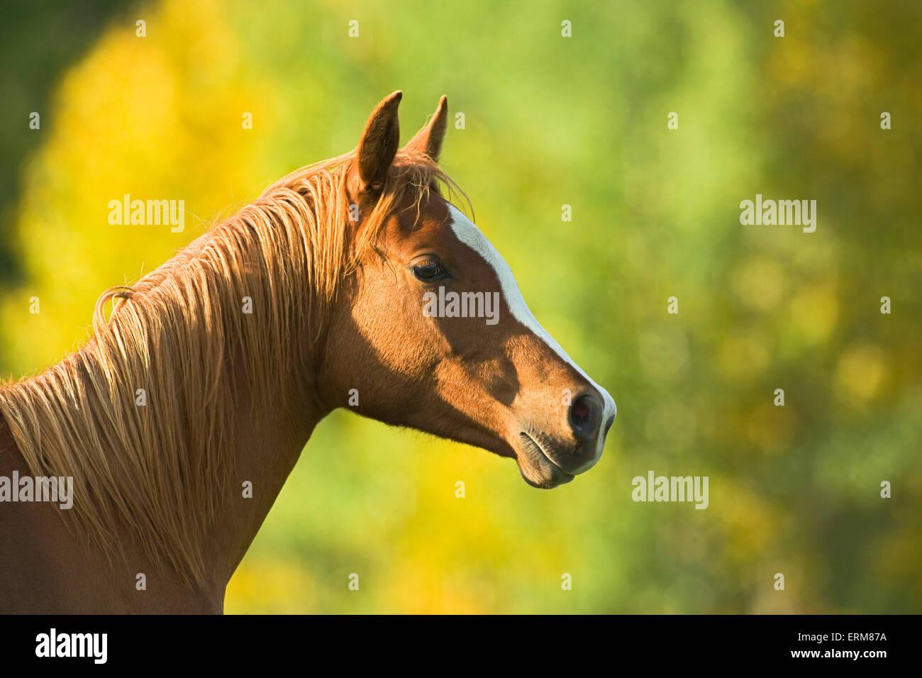 Chestnut Arabian Horse ritratto closeup Immagini Stock