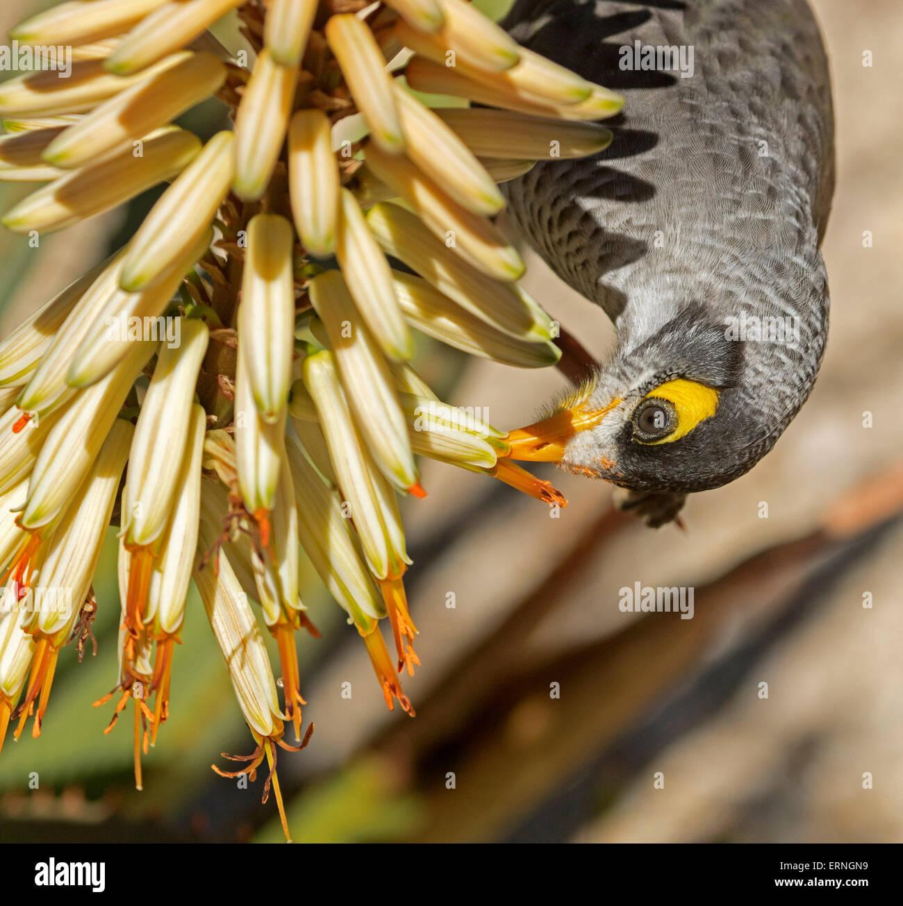 Noisy miner bird, Manorina melanocephala appeso a testa in giù su alimentazione crema fiori tubolari di aloe Immagini Stock