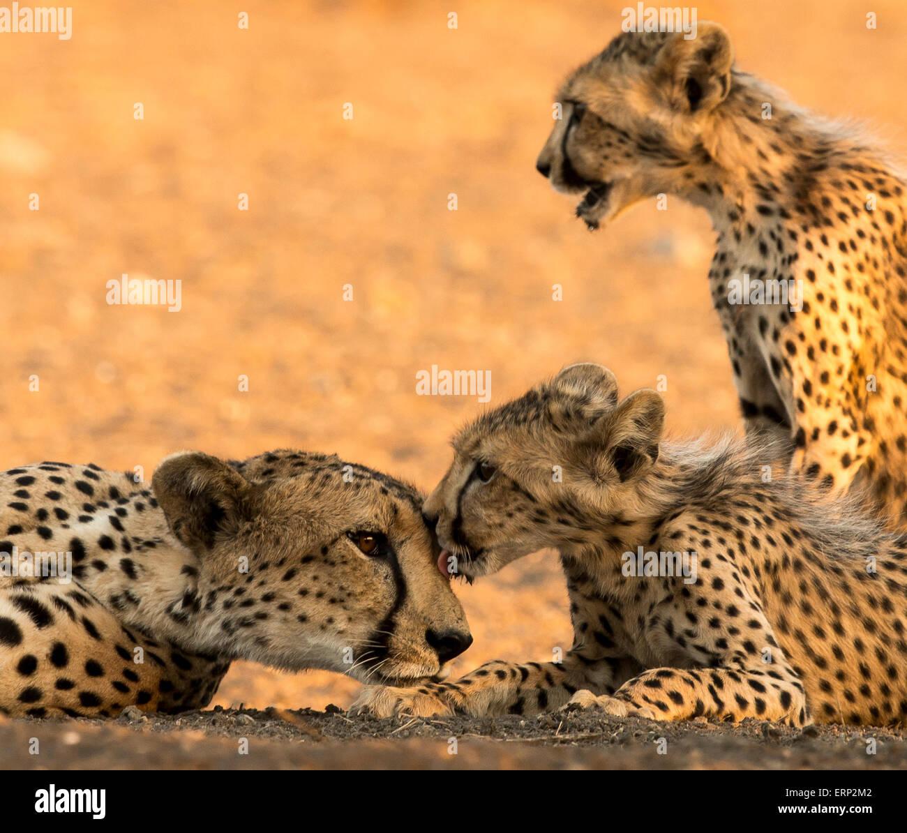 Ghepardo femmina adulta e lupetti toelettatura (Acinonyx jubatus) Malilangwe Riserva Naturale dello Zimbabwe Africa Immagini Stock
