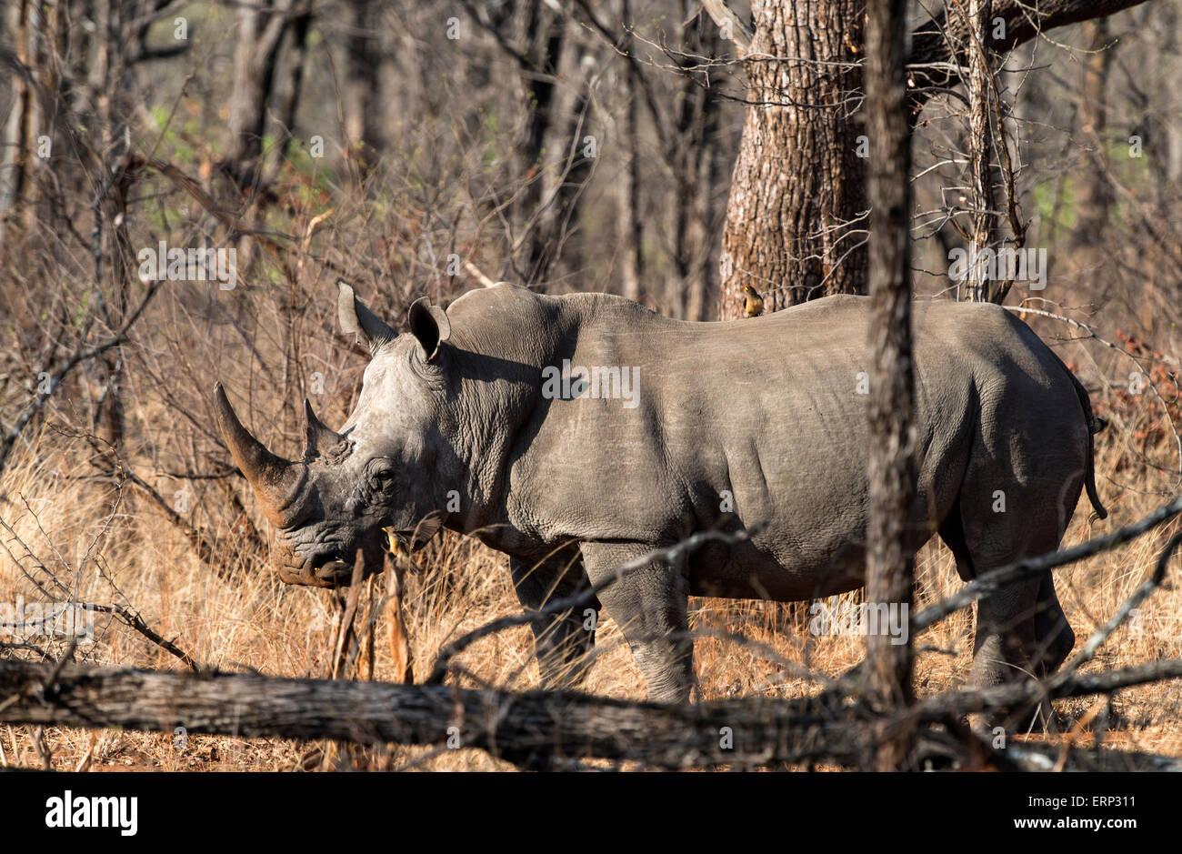 Rinoceronte bianco o piazza a labbro rinoceronte (Ceratotherium simum) Malilangwe Riserva Naturale dello Zimbabwe Immagini Stock