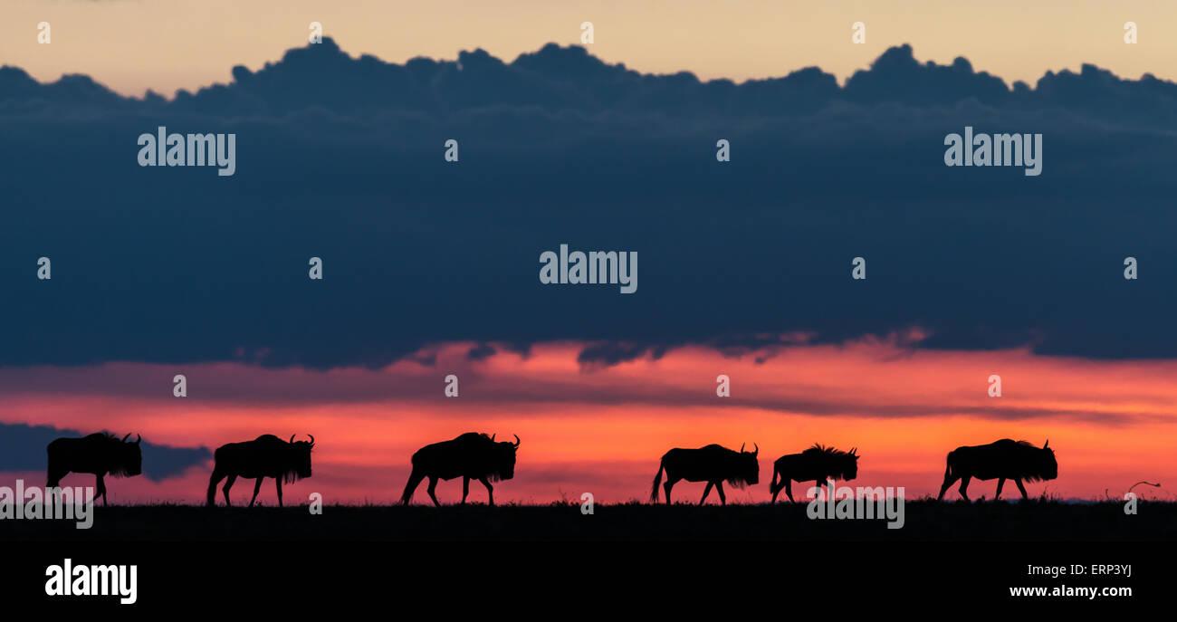 Blu (wildebeests Connochaetes taurinus) al crepuscolo Mara Conservancy nord Kenya Africa Foto Stock
