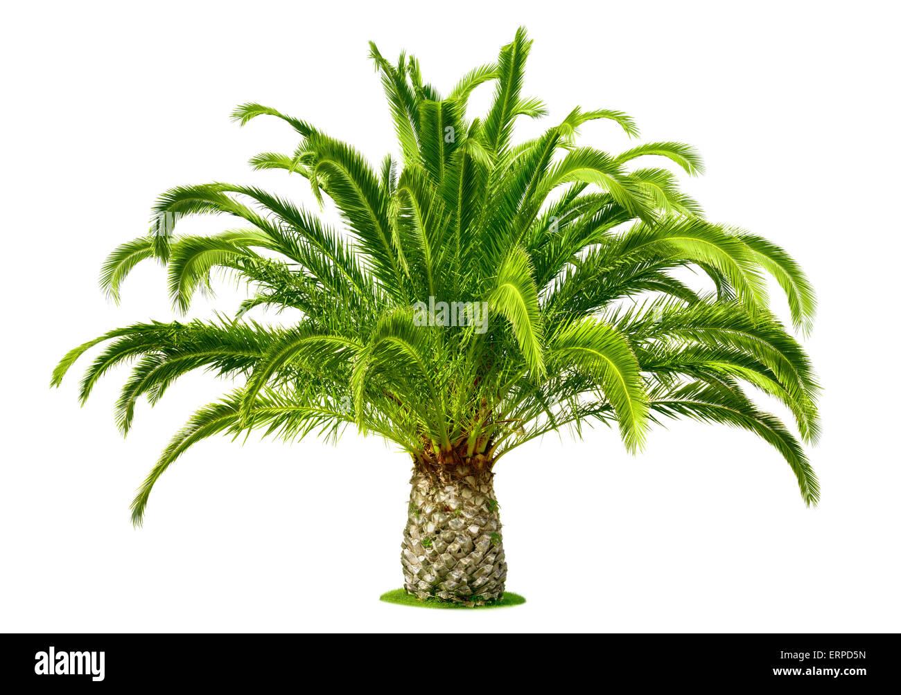 Perfetta Palm tree con lussureggianti, fresche foglie verdi e un corto tronco, isolato su bianco puro Immagini Stock