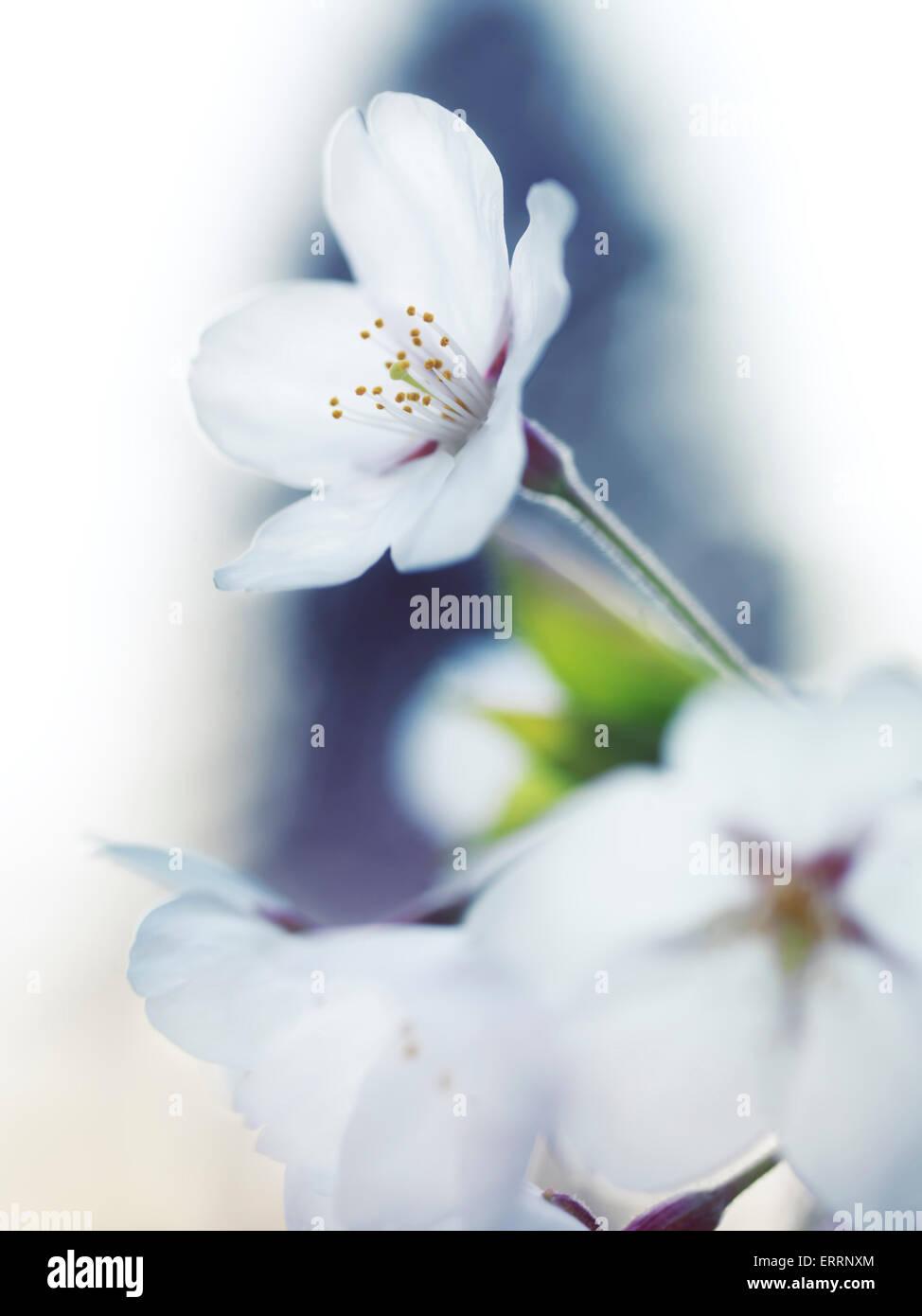 Fiori Bianchi Bellissimi.Primo Piano Della Sakura Bellissimi Fiori Bianchi Di Giapponese