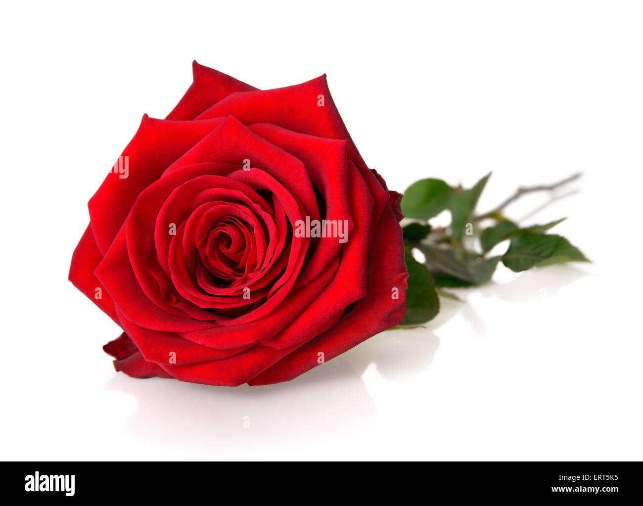Pienamente Sbocciato Splendida Rosa Rossa Con Stelo E Foglie Su